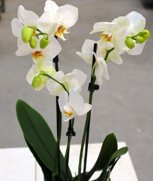 Orchidee mit drei Trieben für nur 14,89€
