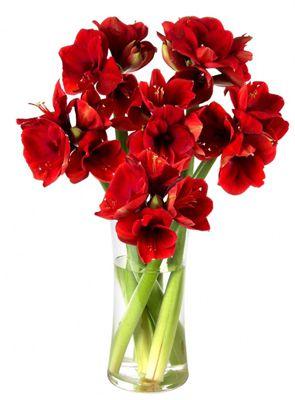 Amaryllis 6 Amaryllis Blumen für 12,12€   bei Bestellungen bis 15 Uhr erfolgt Lieferung bis Heiligabend