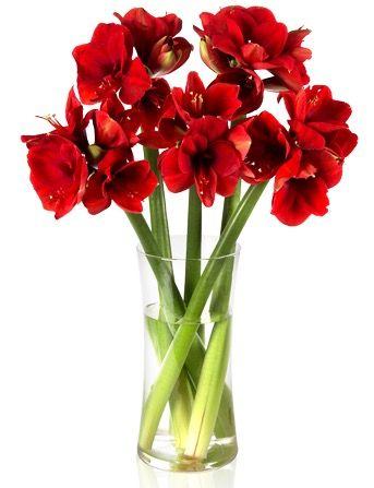 5 rote Amaryllis mit ca. 20 Blüten für 18,94€
