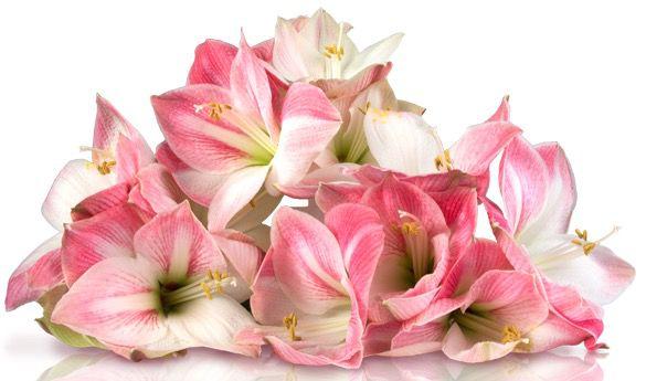rosa Amaryllis 3 rosa Amaryllis für 14,90€ + gratis Grußkarte