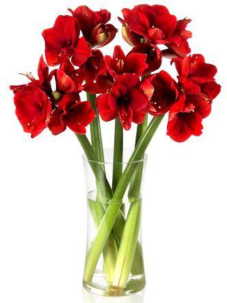5 Amarylli Stiele mit 20 Blüten für 16,90€
