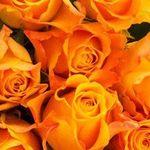 40 bunte Rosen mit Überraschungsfarbe für 23,94€ inkl. VSK