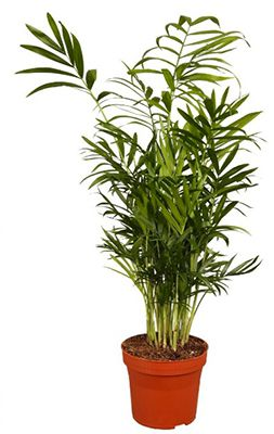 Kentia Palme ca. 60 80cm hoch ab 9,99€ (statt 26€)