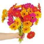 40 bunte Germini Blumen für 19,94€