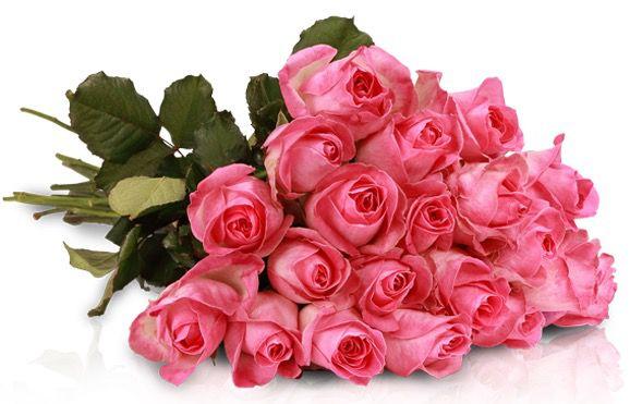 20 Avalanche Candy Rosen (pink) für 18,90€