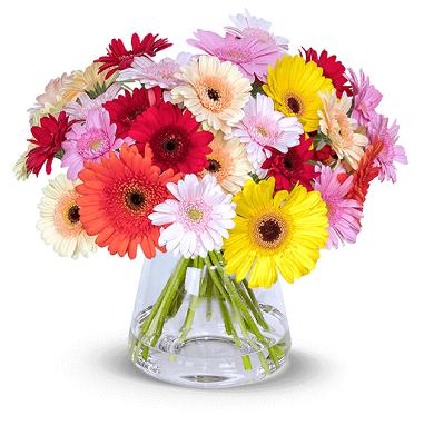 40 bunte Germini Blumen für 24,94€