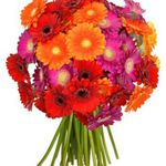40 bunte Gerbera Blumen für 19,94€