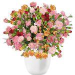 44 Spray-Nelken mit 300 Blüten für 22,98€