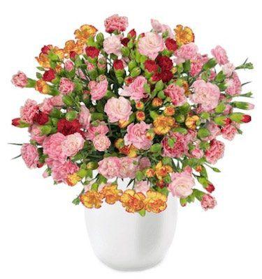 44 Spray Nelken mit 300 Blüten für 22,98€