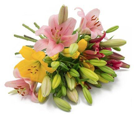 15 Lilien mit über 40 Blüten für 19,94€
