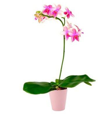 Duftende Orchideen Pflanze + Topf + 30ml Dünger für 16,95€ (statt 28€)