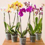 5 Orchideen mit je zwei Rispen (60-70cm hoch) für 29,98€