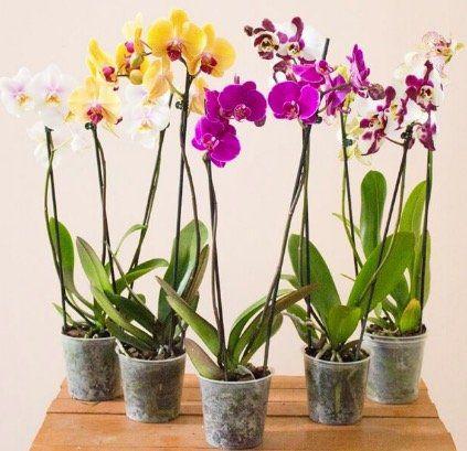 5 Orchideen mit je zwei Rispen (60 70cm hoch) für 29,98€