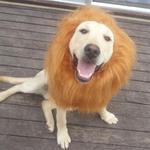 Löwenperücke als Hundeschal ab 1,88€