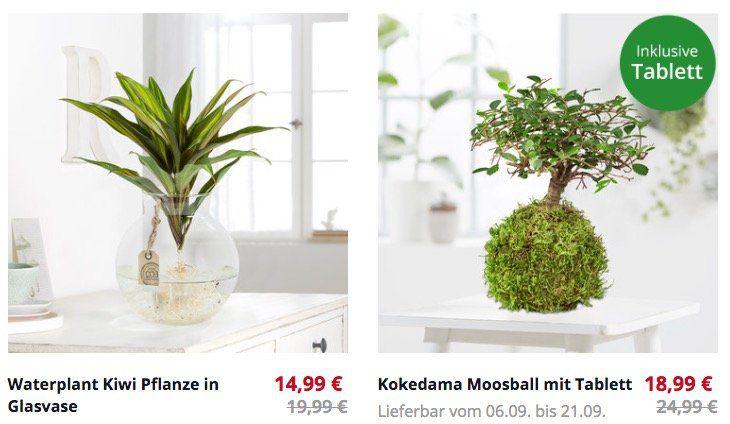 Blume2000 Sale mit günstigen Pflanzen   z.B. Wasserpflanze Kiwi in Glasvase für 19,94€ (sonst 25€)