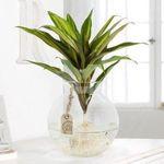 Blume2000 Sale mit günstigen Pflanzen – z.B. Wasserpflanze Kiwi in Glasvase für 19,94€ (sonst 25€)