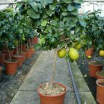 Zitronenbaum 75 – 100 cm für 26,99€ (statt 38€)