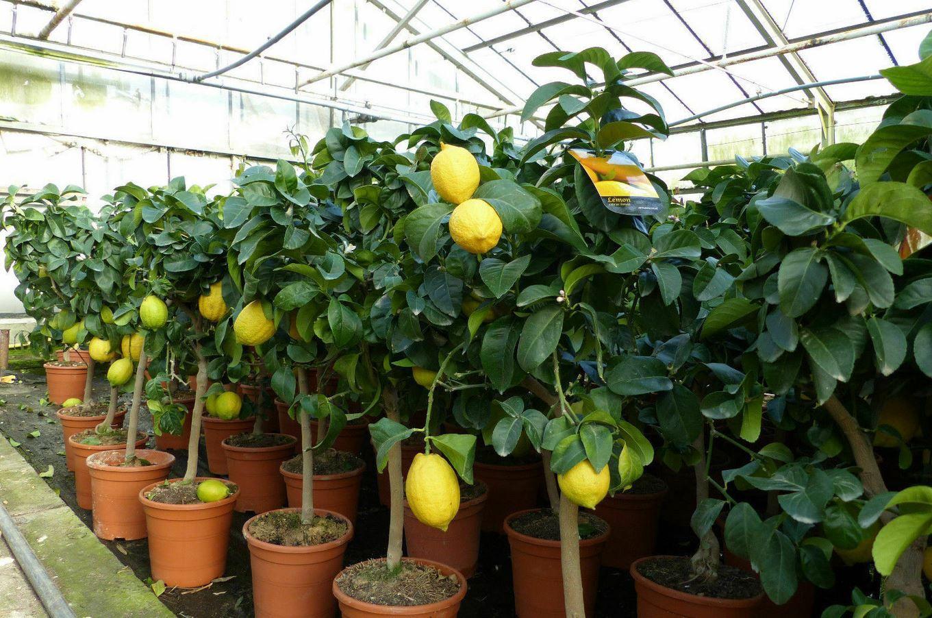 Zitronenbaum 60   90 cm für 34,99€ (statt 44€)
