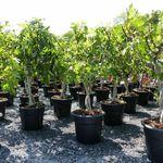 Ficus Carica Feigenbaum hell und dunkel Winterhart für 49,99€ (statt 88€)