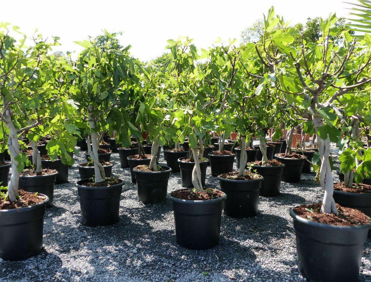 Ficus Carica Feigenbaum hell und dunkel Winterhart für 49,99€ (statt 68€)