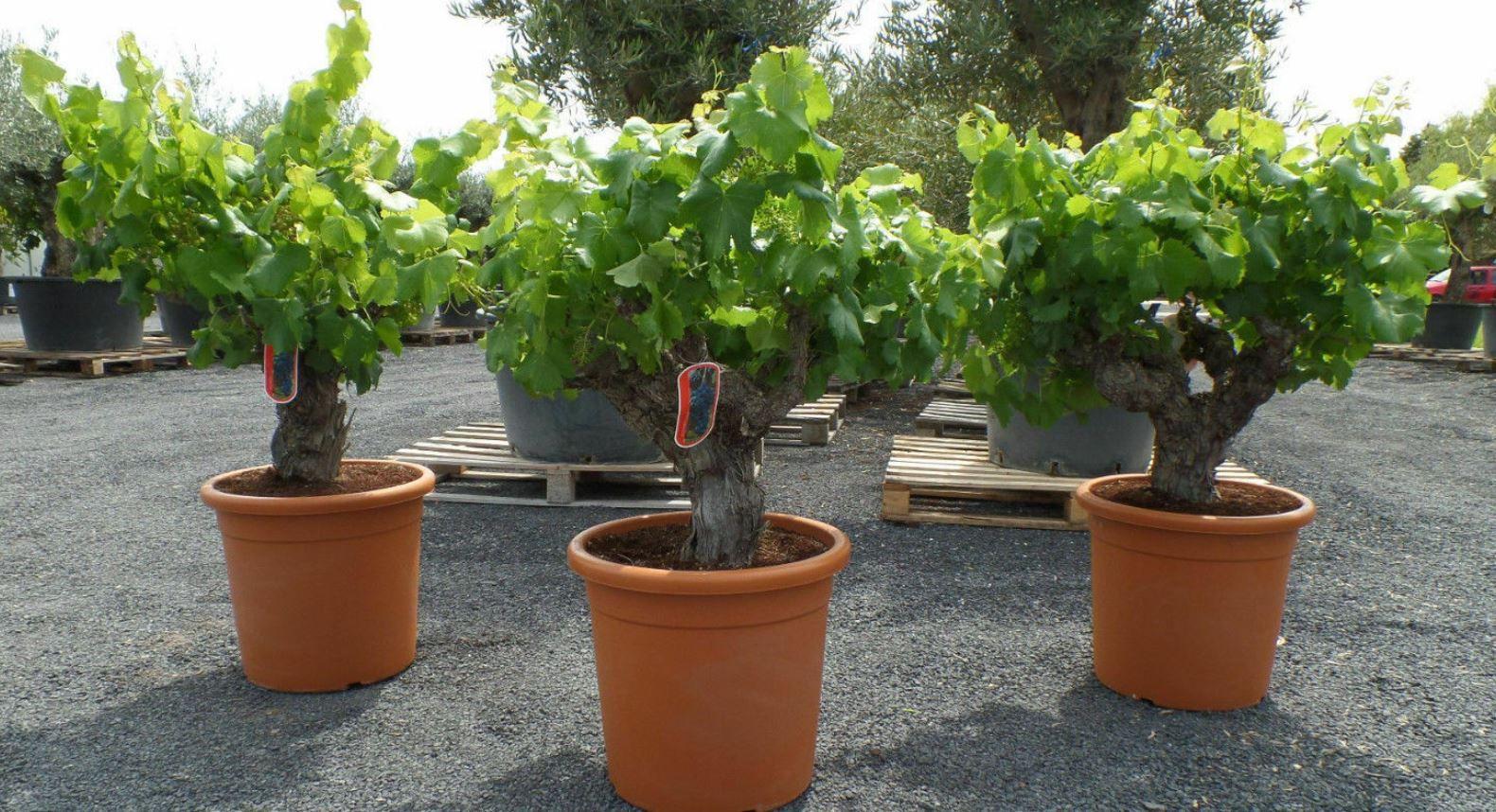 Tempranillo 30 Jahre alter Weinstock Vitis Vinifera im Deko Topf für 79,90€ (statt 100€)