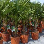 Hanfpalme XXL bis 180 cm Trachycarpus fortunei winterhart für 98,98€ (statt 111€)