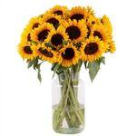 20 Sonnenblumen mit ca. 50cm Stiellänge für 22,98€