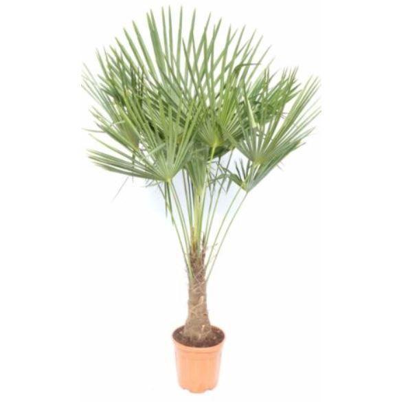 Hanfpalme XXL bis 160 cm Trachycarpus fortunei winterhart für 89,99€ (statt 109€)