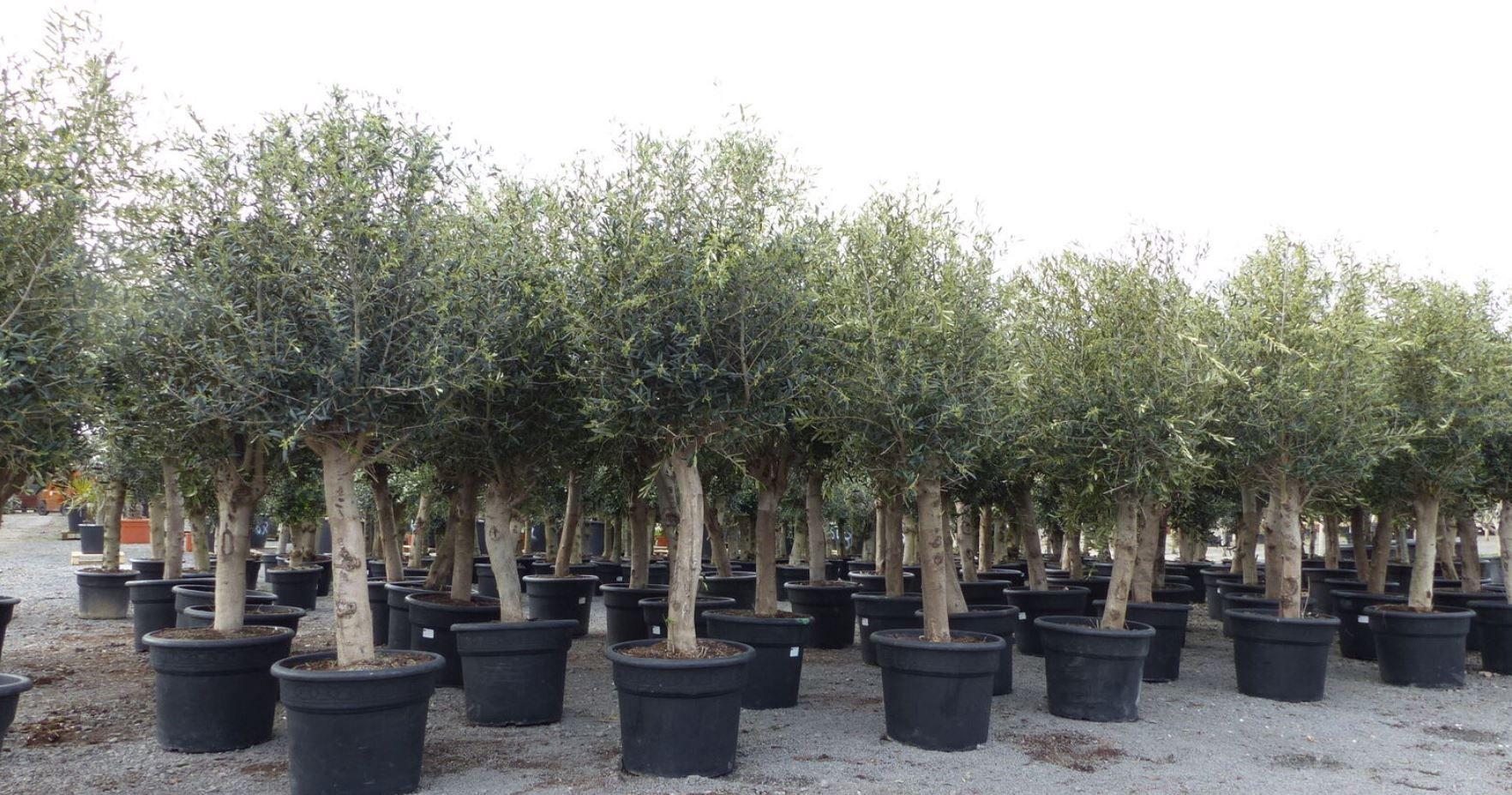 Olivenbaum max. 240 cm buschige Krone Winterhart für 199,99€ (statt 269€)