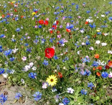 1kg Blumenwiese Wildblumen Mischung ohne Gras für 100 150m² für 22€ (statt 26€)