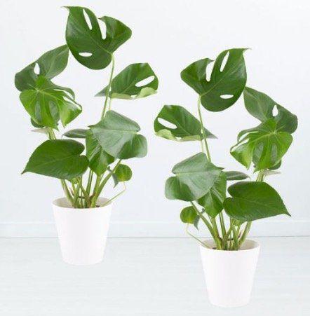 2x Monstera Fensterblatt Blumen (50cm) + 2 Töpfe für 32,90€