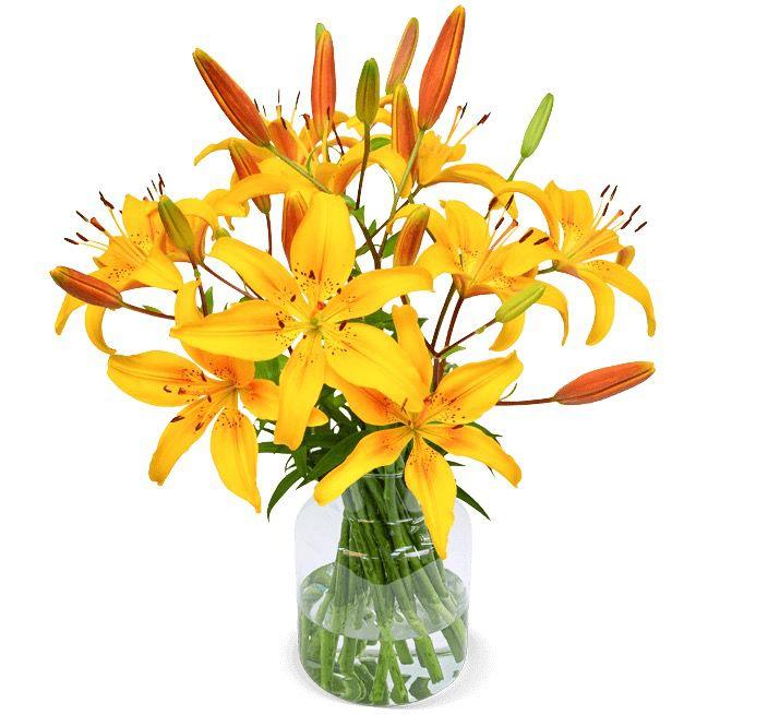 20 gelbe Lilien mit 50cm und bis zu 60 XXL Blüten für 24,98€