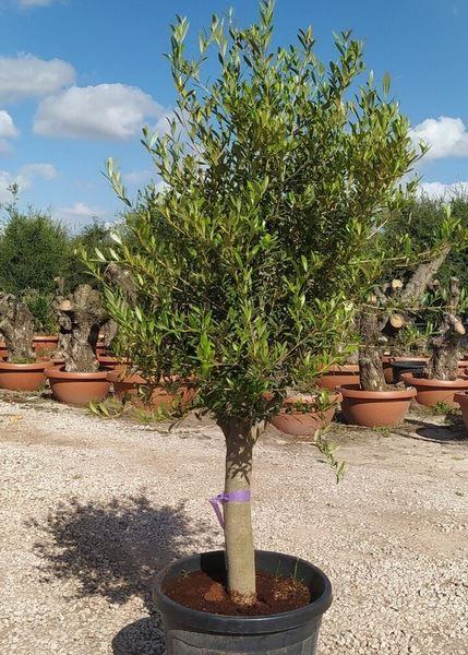 Olivenbaum 20 Jahre inkl. Topf in 150 180 cm für 149,99€ (statt 180€)