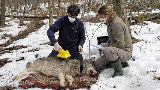 3sat: Dokumentation Radioaktive Wölfe anschauen (IMDb 7/10)