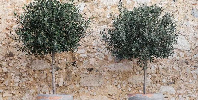 2er Pack Olivenbaum XL (80 100 cm) pflegeleicht und winterhart für 40,13€ (statt 60€)