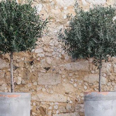 2er Pack Olivenbaum XL (80-100 cm) pflegeleicht und winterhart für 40,13€ (statt 60€)