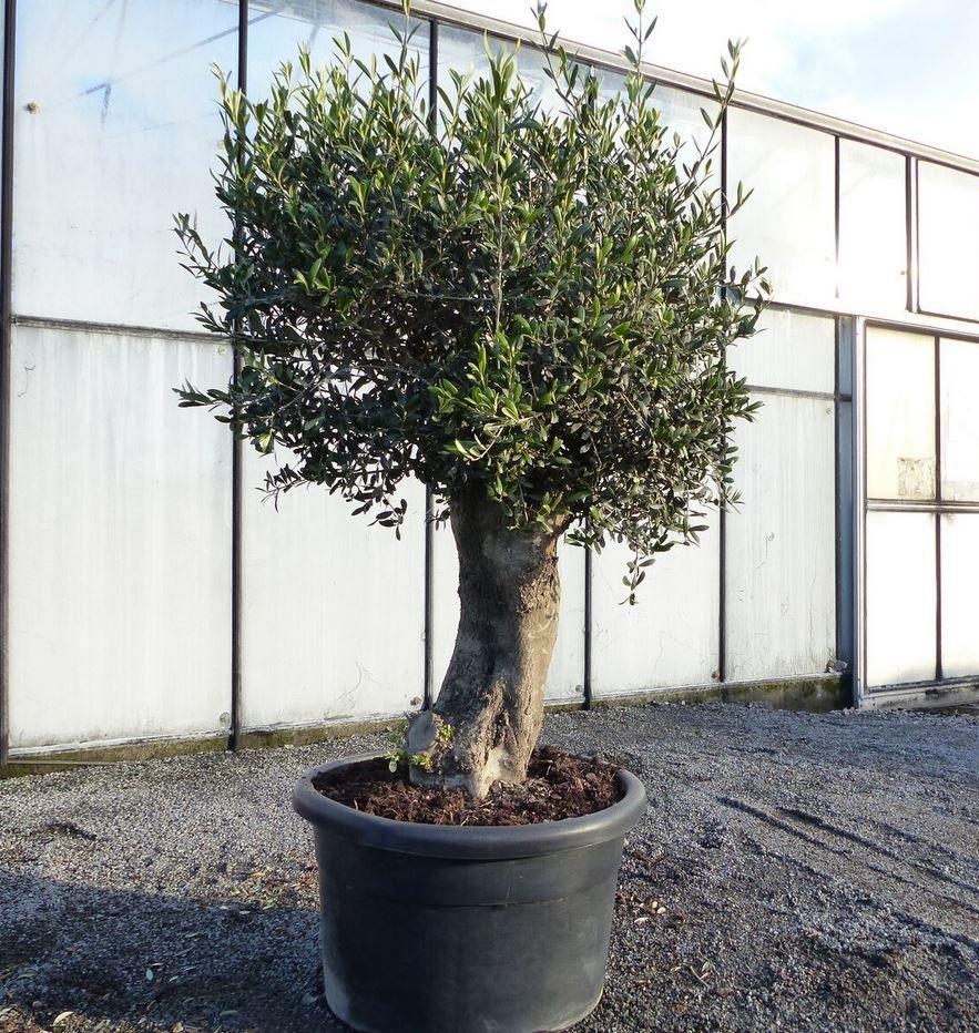 Olivenbaum Copa Baja 60 Jahre Winterhart für 345€ (statt 468€)