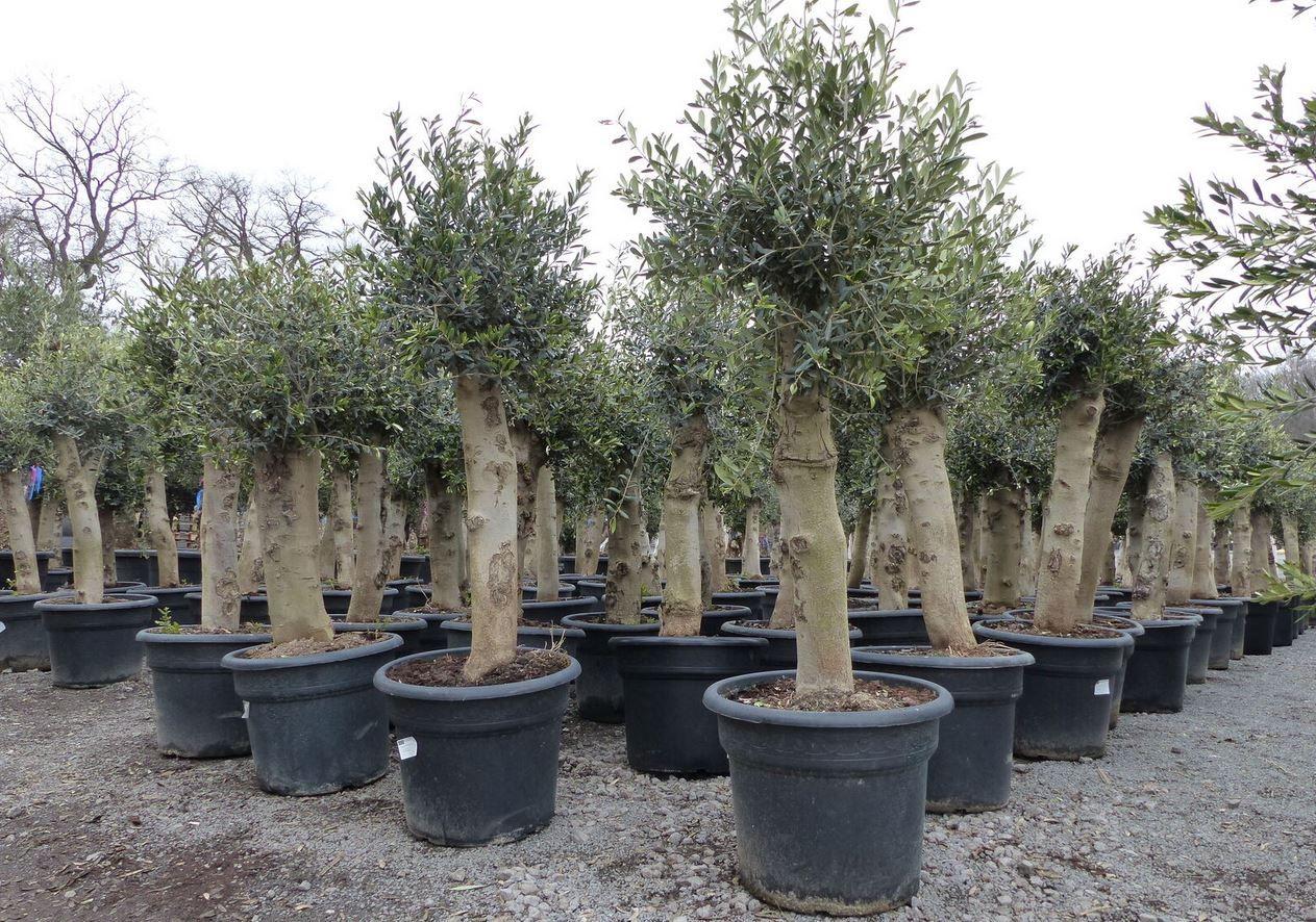 2 Olivenbäume  40 Jahre Olea Europaea für 247,50€ (statt 299€)