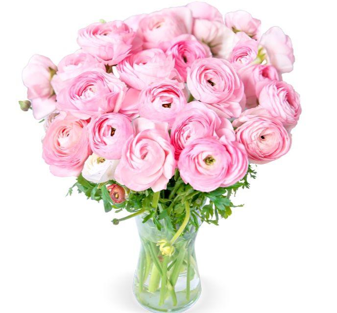 Blumenstrauß mit 31 Ranunkeln in Perfect Pink für 25,98€