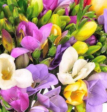 40 bunte Freesien mit bis zu 200 Blüten für 25,98€