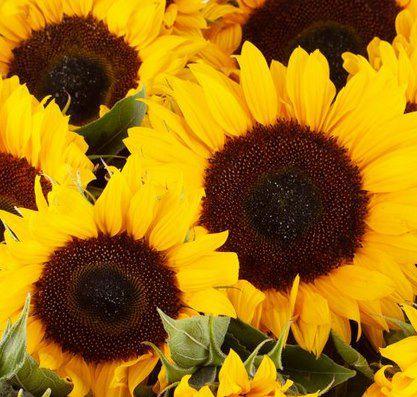 20 Sonnenblumen inkl. Grußkarte & 7 Tage Frische Garantie für 26,90€ (statt 40€)
