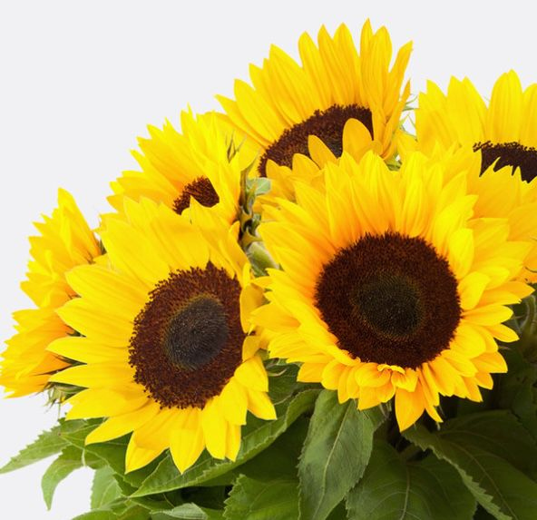 10 Sonnenblumen für nur 10€ + keine Versandkosten
