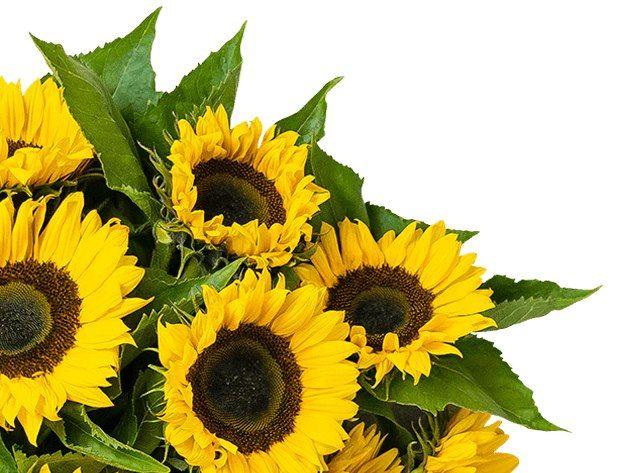 12 Sonnenblumen mit ca. 50cm Stiellänge für 19,98€