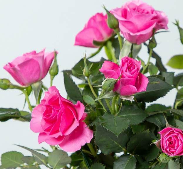 Blume2000: Topfrose Infinity mit Übertopf für 10€ (statt 20€)