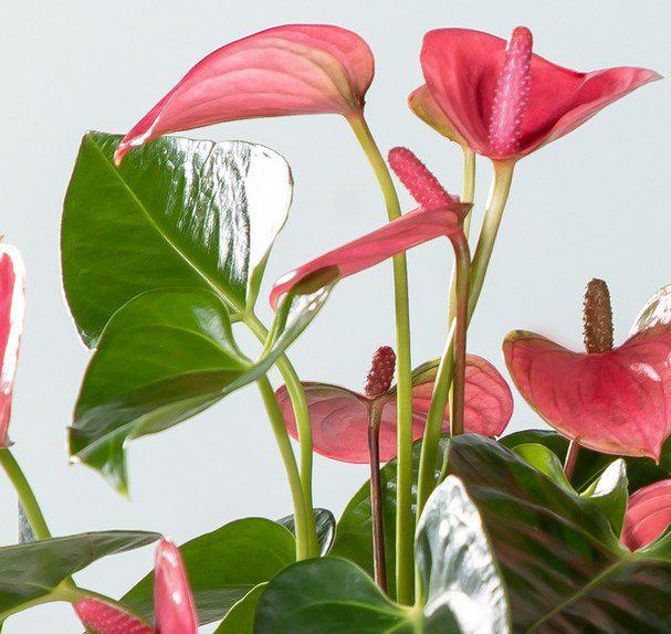 Water Plant Anthurie in Rosa mit Glasvase für 10€ (statt 25€)
