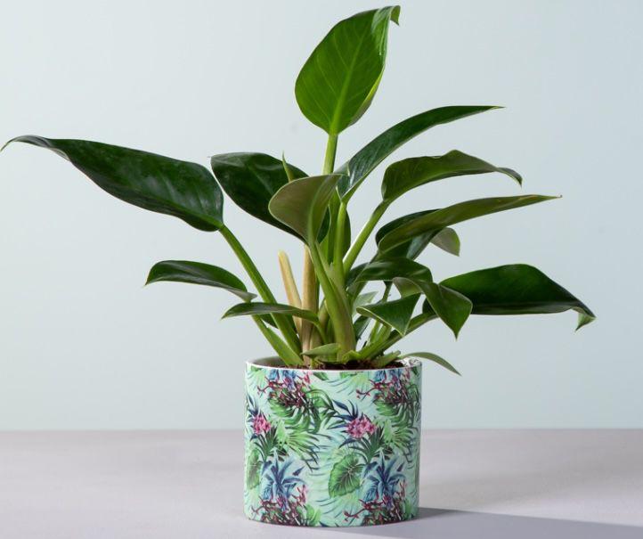 Philodendron Imperial Green mit Übertopf für 9,99€